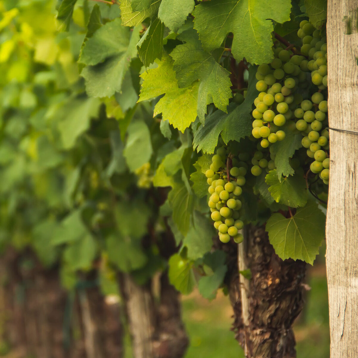 Cap_Andritxol_onehalf_green-grapes